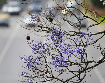 Noviembre, el mes del jacarandá